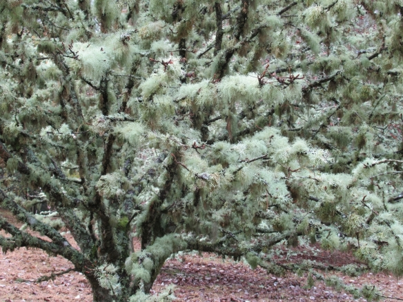 Tree wearing a fur coat of lichen, Dawyck Botanical Gdns. nr Peebles